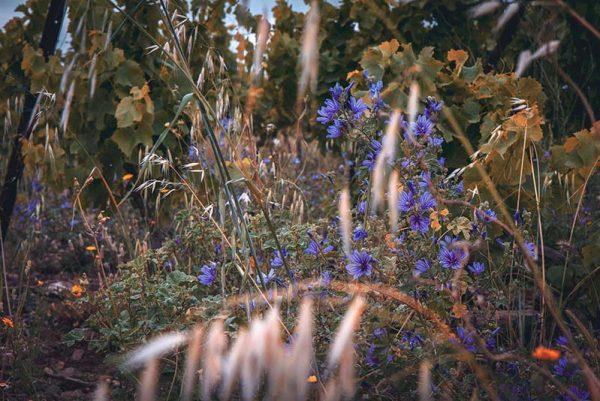 fleurs_vignes-pujol.jpg