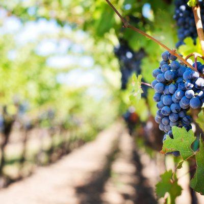 Le Pinot Noir, cépage magique mais ô combien capricieux, nous livre ses diverses expressions et son potentiel d'adaptation aux différents terroirs
